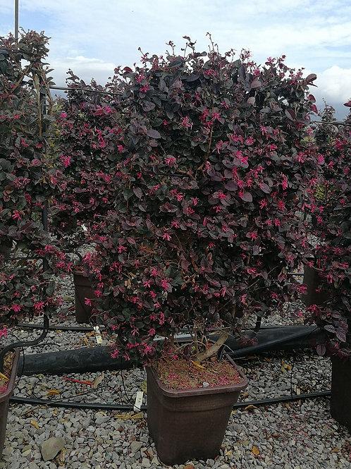 Loropetalum Chinense 'Black pearl' Espalier Trees For Sale