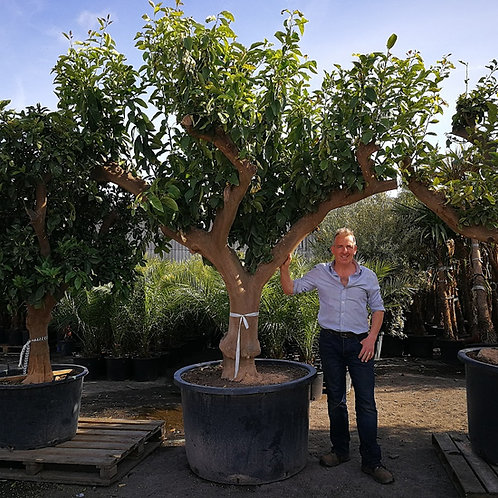 Specimen Citrus Limon Trees. Extra Large Lemon Trees