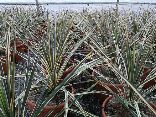 Cordyline Australis 'Torbay Dazzler' Plants