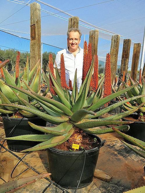 Large Aloe Ferox Plants