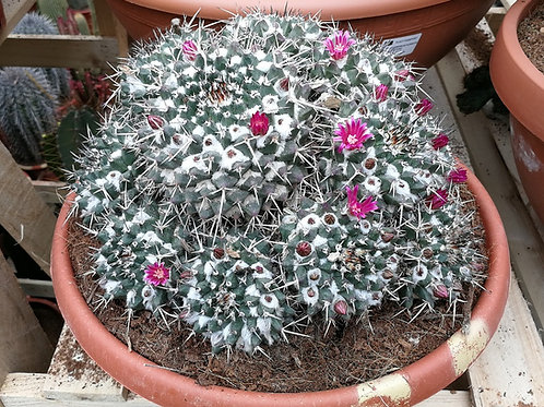 Mammillaria Compressa Cactus For Sale. Mother of Hundreds Cactus