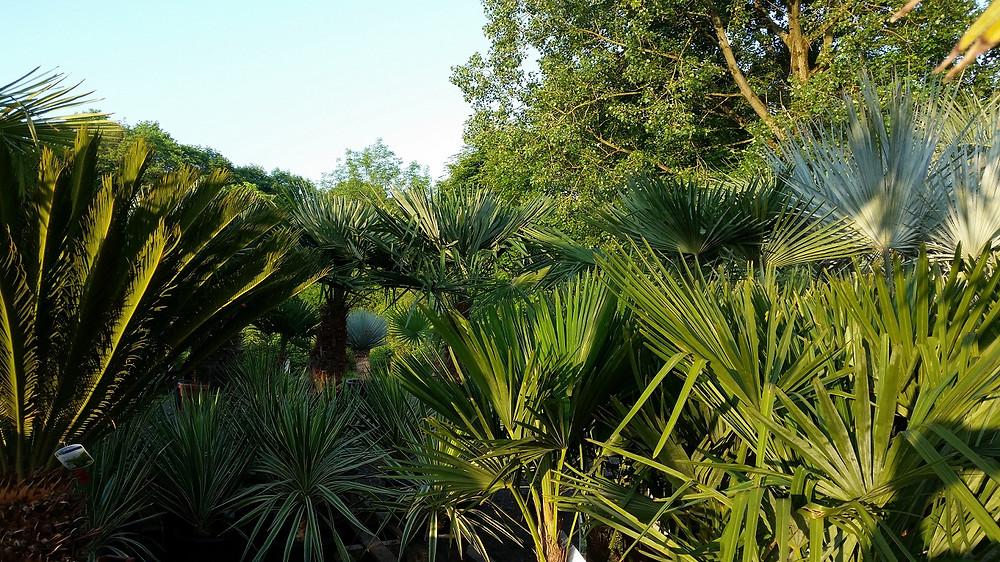 Quality Palm Trees For Sale. The Palm Tree Company
