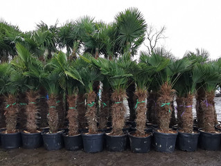 At Least 50 Wagons Full Of Palm Trees, Olive Trees and Tropical Plants To Arrive This Season!