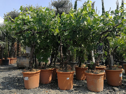 Grape Vines For Sale. Variety 'Merlot'
