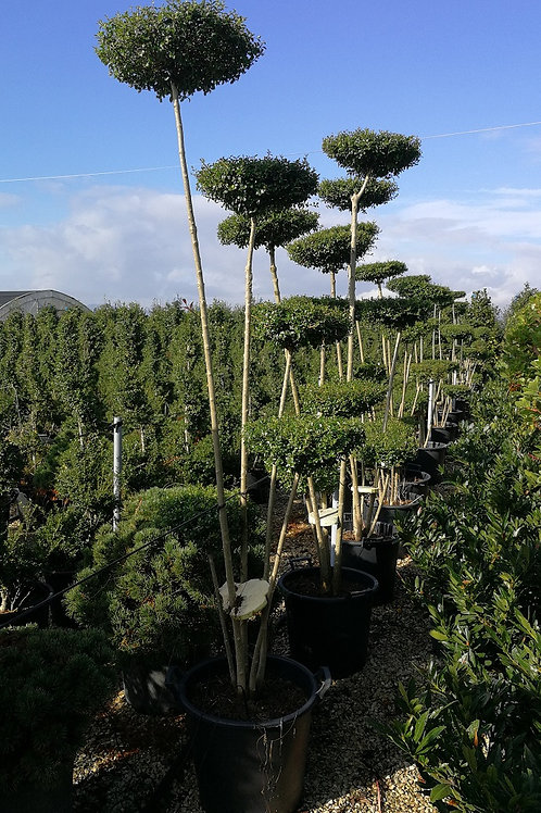 Ligustrum Jonandrum Topiary Trees. Flat Head Topiary Trees