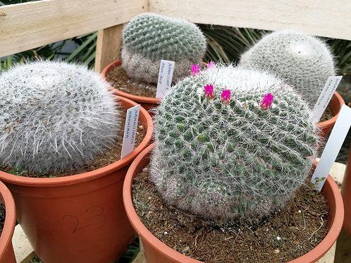 Mammillaria Hahniana Cactus. Old Lady Pincushion Cactus