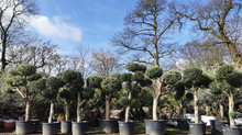 The quality of these Olive Trees are second to none!