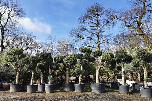 Large Pom Pom Olive Trees for sale