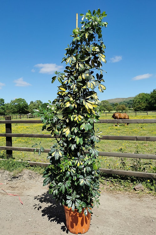 Tall Schefflera Gold Capella Plants. Large Variegated Umbrella Plants, 220cm tall. Large and Tall House Plants For Sale