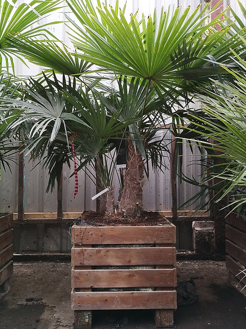 Trachycarpus Fortunei Groups in a Garden Planter