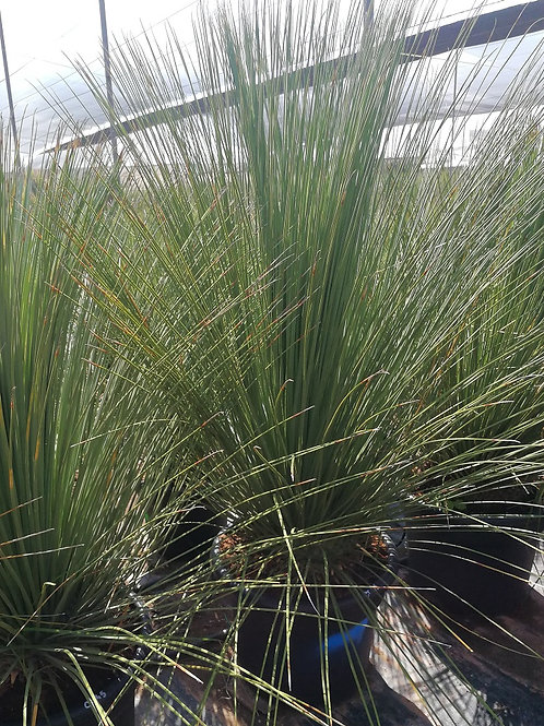 Mexican Grass Tree. Dasylirion Longissimum For Sale