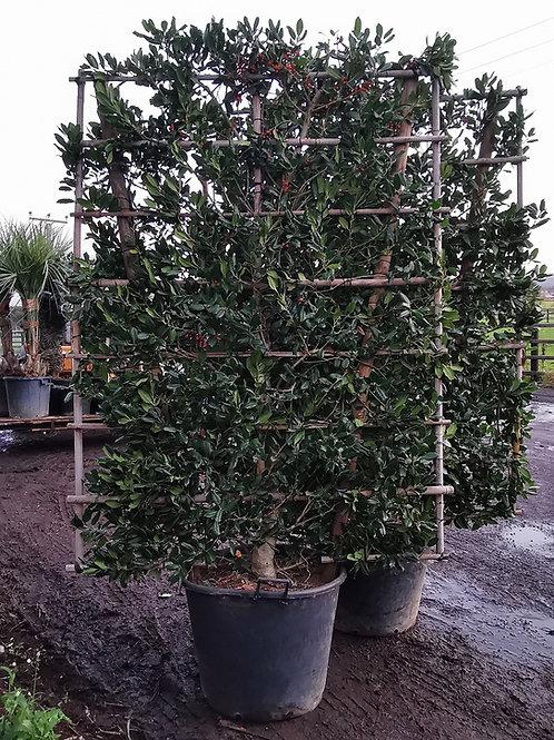 Ilex Muchagara Nellie Stevens Espalier Trained Holly Tree