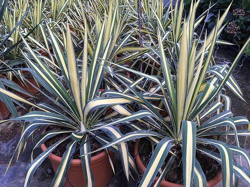 Yucca Filamentosa 'Colour Guard' Plants