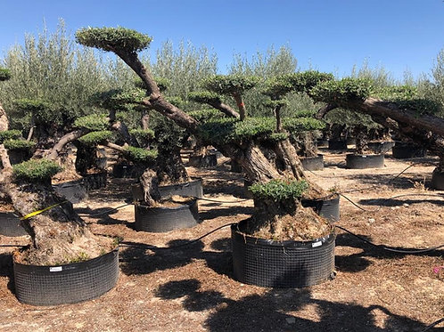Cloud Olive Trees. Angled Formation