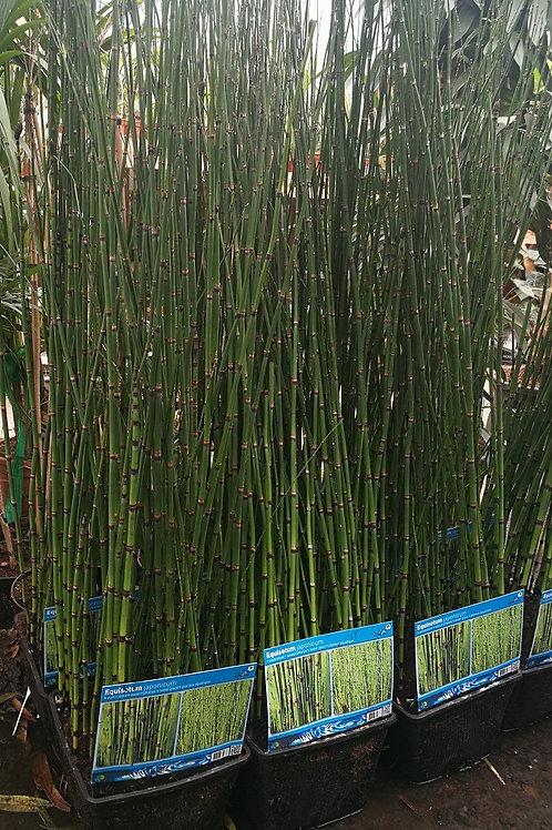 Equisetum Japonicum. Japanese Horsetail. Snakegrass Plants
