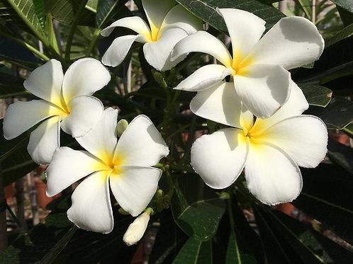 White Frangipani Plants for sale