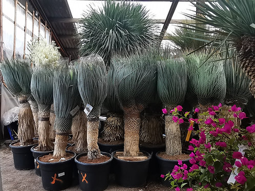 Yucca Rostrata. Blue Swan.  Free UK Delivery!