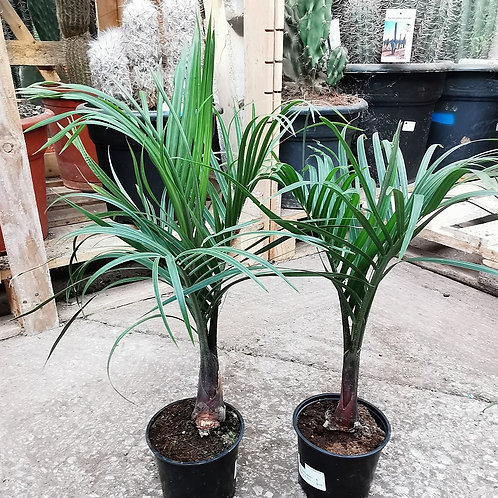 Dypsis Decaryi. Triangle Palm for sale.