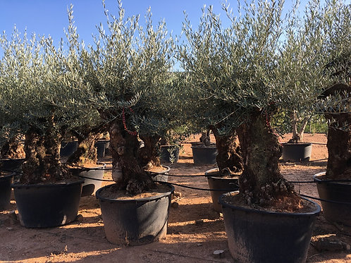 Specimen Gnarled Olive Trees. Open Crown