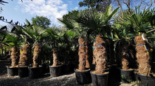 Buy From a massive range of quality Palms, Olive Trees, Cordylines, Yuccas, Citrus Trees and More