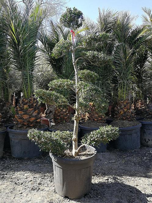 Ilex Crenata 'Green Hedge' Topiary Bonsai Trees.