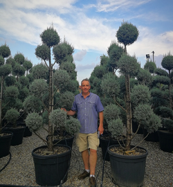Large Topiary Trees