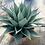 Large Havardiana Agave Plant