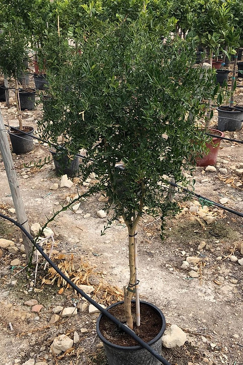 Large Caviar Lime Trees For Sale