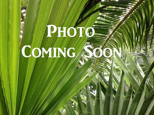 Jubaeopsis Caffra. Pondoland Palm. Kaffir Palm