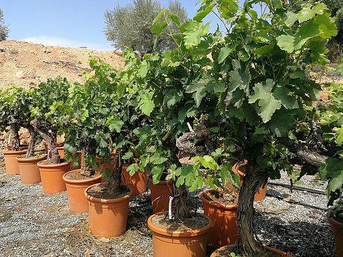 White Grapevines for sale