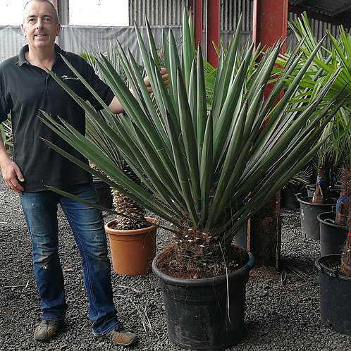 Large Yucca Faxoniana for sale