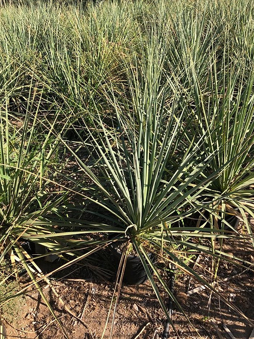 Yucca Elata. Soaptree Yucca For Sale