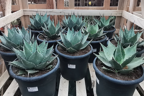 AGAVE PARRYI ssp. NEOMEXICANA.