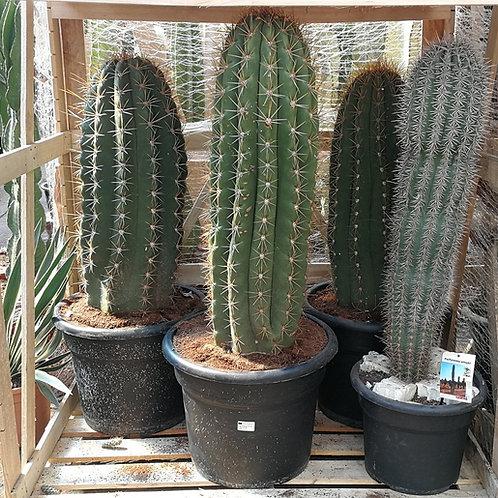 large Echinopsis Trichocereus Pasacana Cacti For Sale