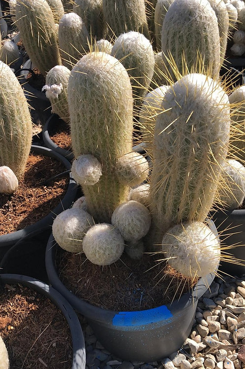 Espostoa Nana Cactus For Sale. Dwarf Old Man Cactus.