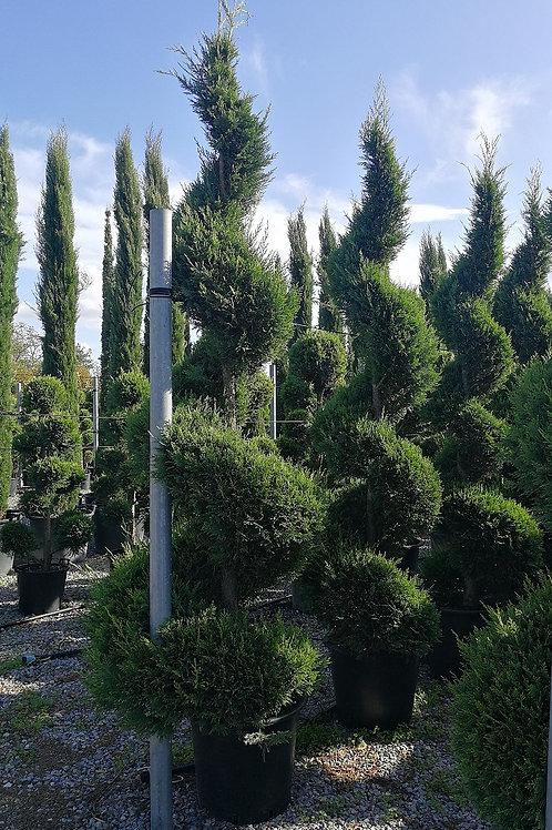 Cupressocyparis Leylandii Castlewellan Gold Spiral Topiary. Gold Leylandii Spiral Topiary Tree.