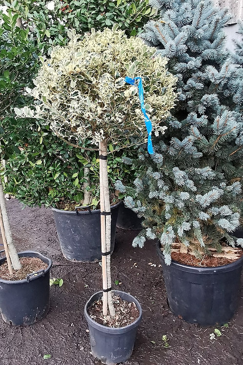 Ilex Aquifolium Variegatum. Variegated Holly Balls For Sale