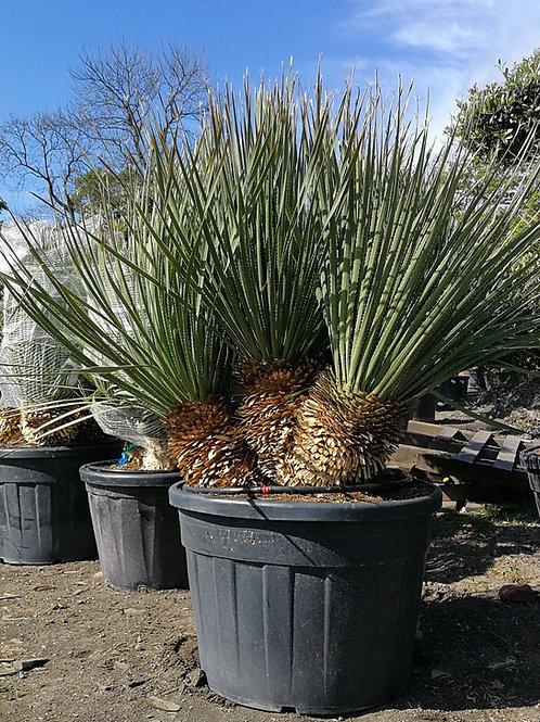 Specimen Dasylirion Serratifolium Multi-trunk Plants For sale