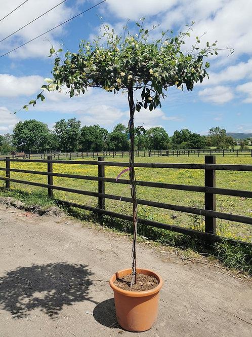 Trachelospermum Jasmine Umbrella Trees