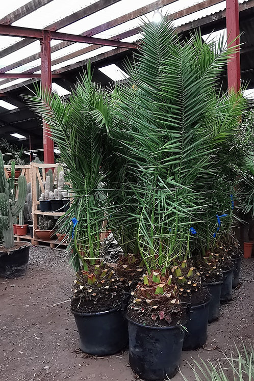 Large Canary Island Date Palms for sale. Phoenix Canariensis Palms For Sale.