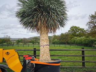 Specimen Sized Yucca Rostrata 'Blue Swan'