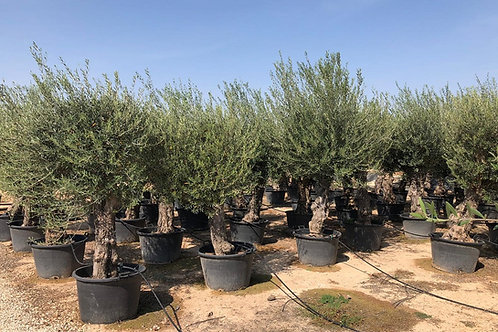 Olive Trees. Open Crown