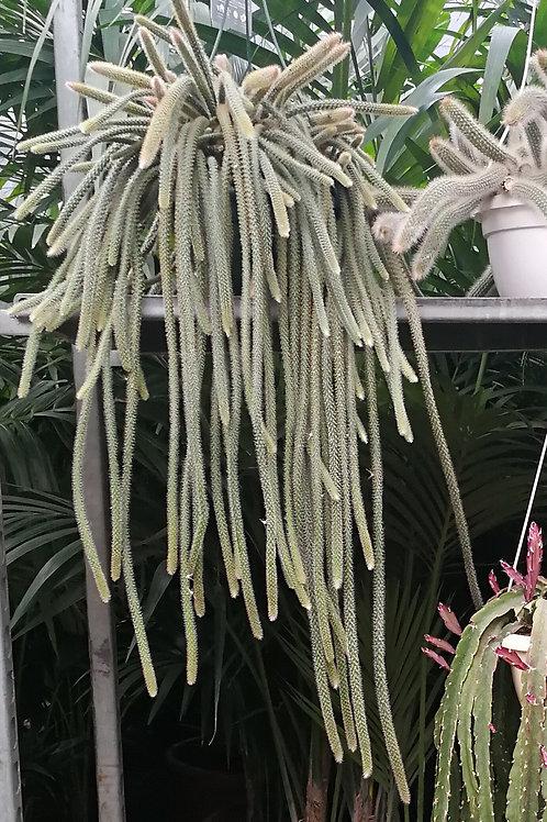 Large Disocactus Flagelliformis Hanging Cactus