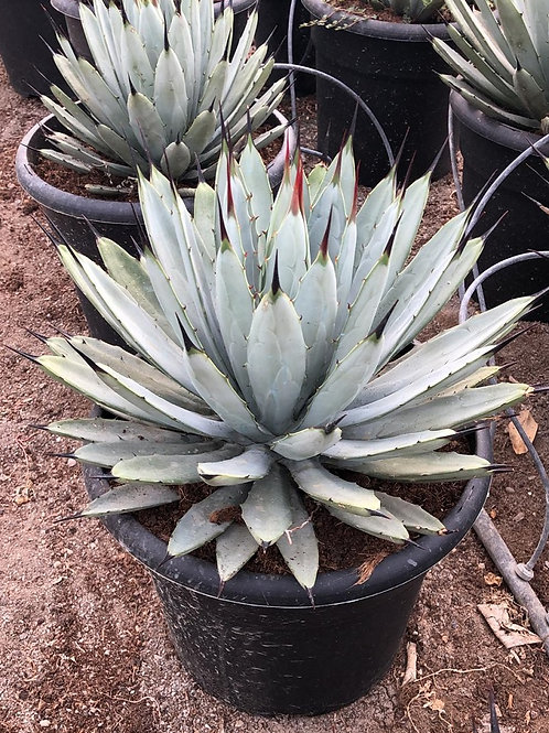 Agave Macroacantha For Sale
