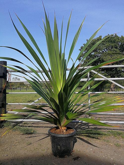 Large Pandanus Utilis. Screwpine for sale.