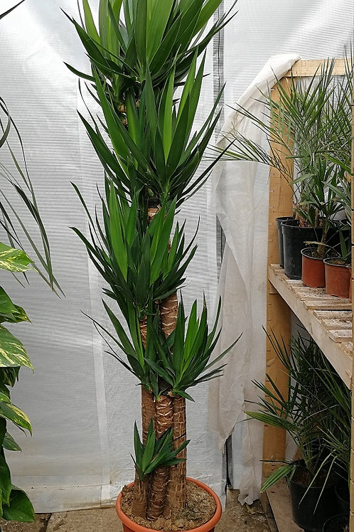 Large Yucca elephantipes 5 Trunk. 7ft tall Spineless Yucca. Stick Yucca. Large Houseplant