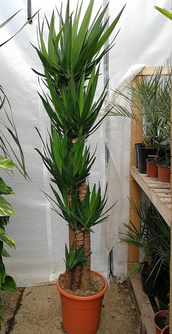 Beliebt YUCCA ELEPHANTIPES (Spineless Yucca/Stick Yucca). Large Houseplant RL79
