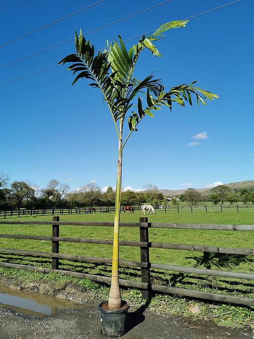 Veitchia Joannis Palm. Fiji Palm For Sale.
