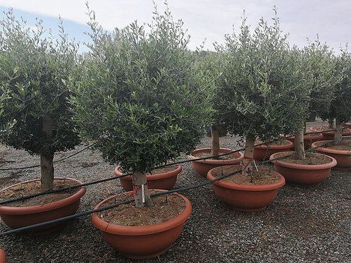 Large Topiary Pruned Ball Olive Trees
