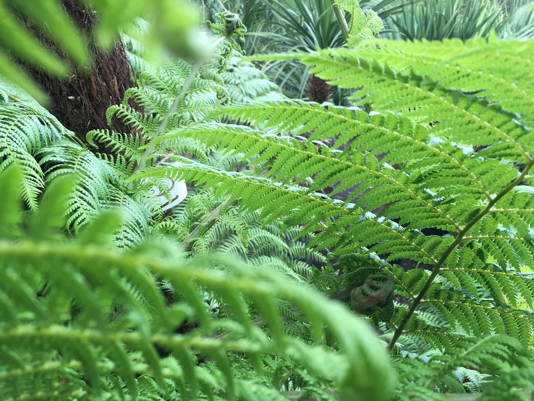 Dicksonia Antarctica Tree Ferns